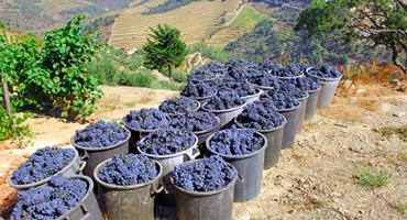 Druiven plukken: in het hart van de Dourovallei